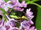 An iridescent green Rose Chafer Beetle, Cetonia aurata, foraging on lilac flowers. poster