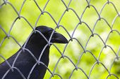 Crow behind wire rail look at you poster