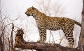 Leopard (Panthera pardus) standing alert on the tree in nature reserve in South Africa poster