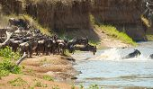 Herd of Blue Wildebeest (Connochaetes taurinus) crossing the river in nature reserve in South Africa poster