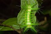 spectacular green camouflaged caterpillar sitting on leaf poster