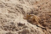 Ghost crab keeping guard at the entrance of his hole in the sand at the beach. poster