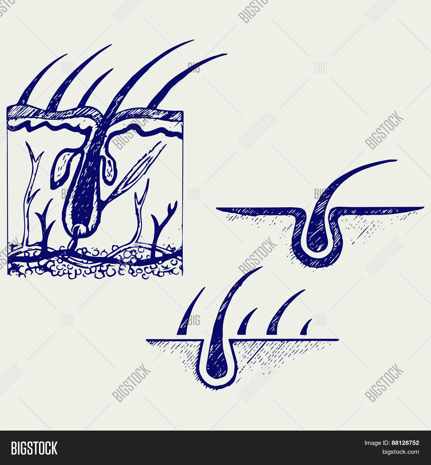 Hair Anatomy Hair Vector & Photo (Free Trial) | Bigstock