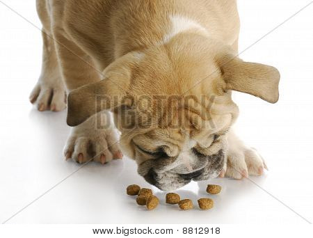 english bulldog puppy bent over to eat dog food with reflection on white background - 12 weeks old poster