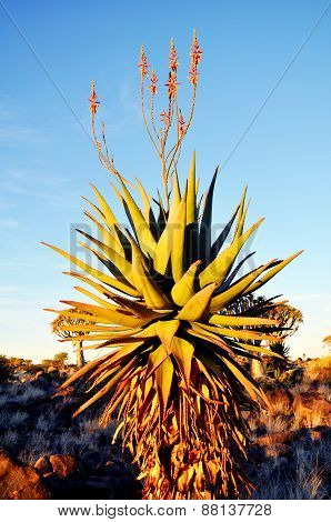 Big Aloe Ferox Plant with Red Flowers, Keetmanshoop, Namibia