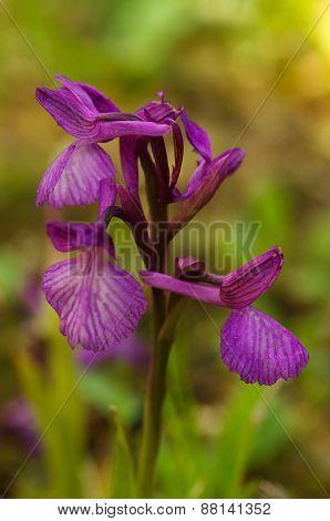 Wild Orchid Hybrid - Anacamptis X Gennarii