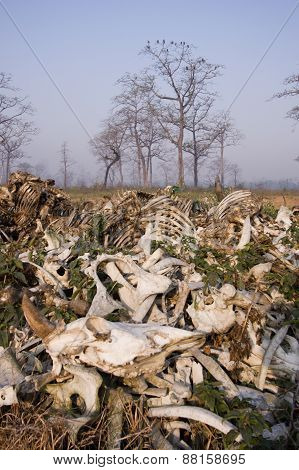 a pile of bones of dead cows eaten by vultures