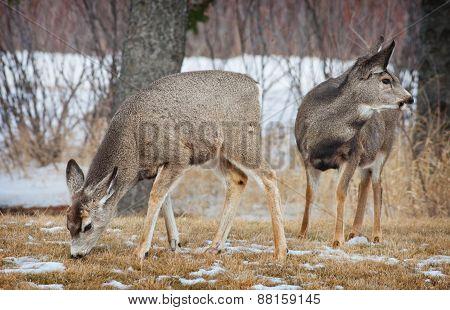 Young Spring Deer
