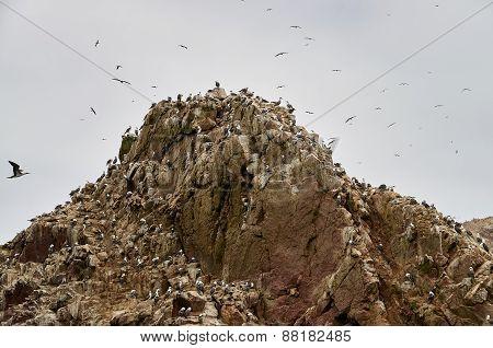 Wild birds and seagull on ballestas island, Peru