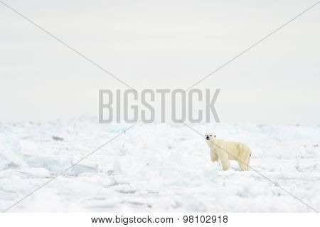 Polar Bear (Ursus maritimus) on floe edge