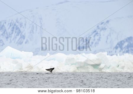 Narwhal or narwhale (Monodon monoceros) tail