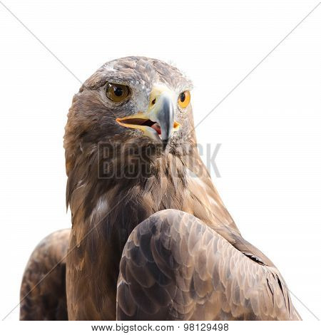 Beautiful Strong Raptor Golden Eagle Bird
