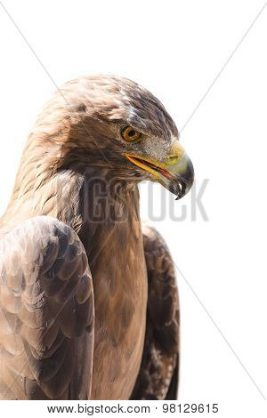 Vertical Close-up Profile Portrait Of Golden Eagle