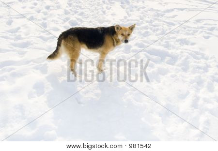 dog on snow. in solar winter day poster
