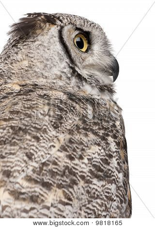 Close-up Of Great Horned Owl, Bubo Virginianus Subarcticus, In Front Of White Background