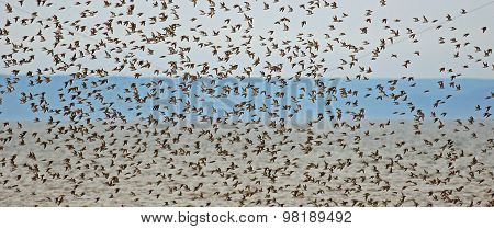 Shorebirds Plover Pipers Flock Flying