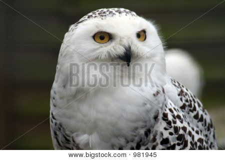 photo of a tawney owl looking just off to the side of the camera poster