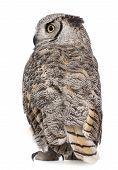 Rear view of Great Horned Owl Bubo Virginianus Subarcticus in front of white background poster