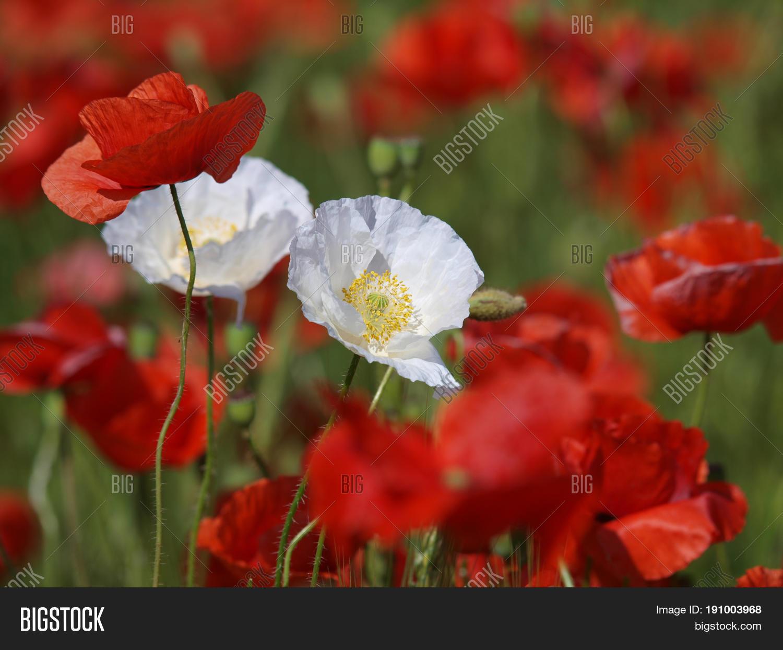 Two White Poppy Image Photo Free Trial Bigstock