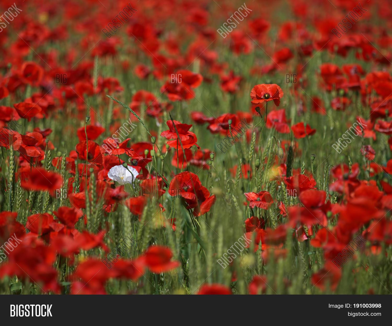White Poppy Flower Image Photo Free Trial Bigstock
