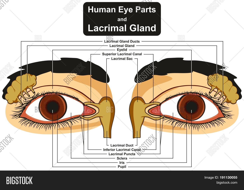 Human Eye Parts Image & Photo (Free Trial) | Bigstock