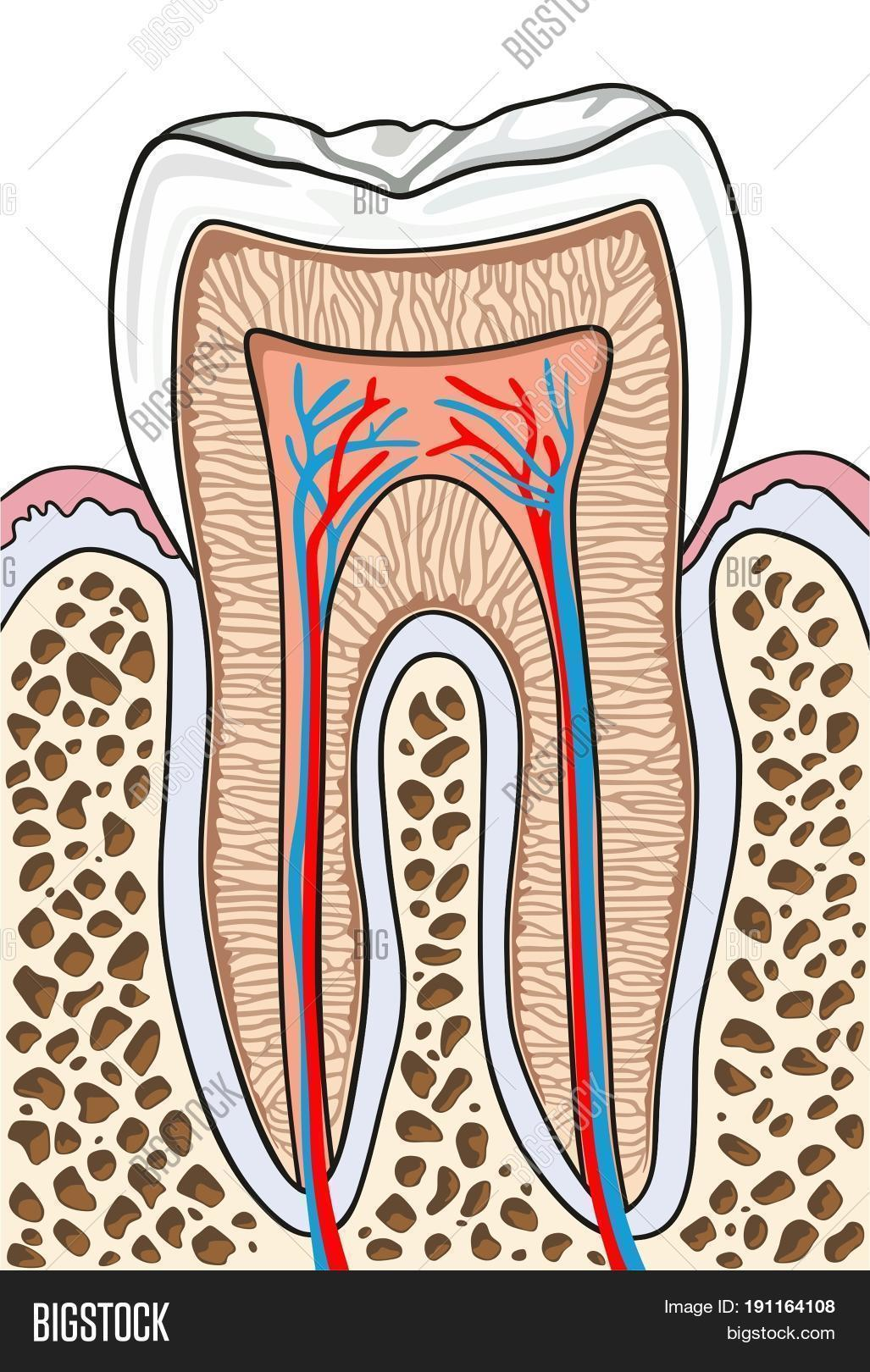 Tooth Cross Section Image Photo Free Trial Bigstock