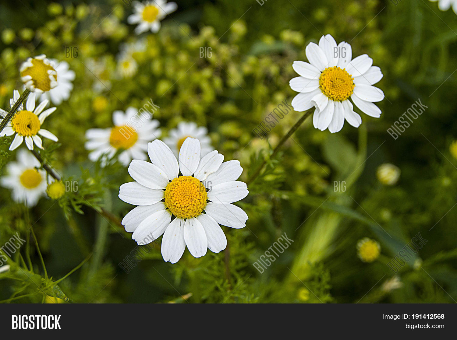 Daisy Flowers Image Photo Free Trial Bigstock