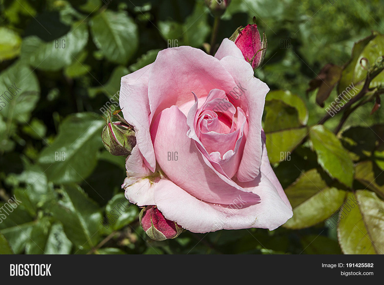 Rose Tree Most Image Photo Free Trial Bigstock