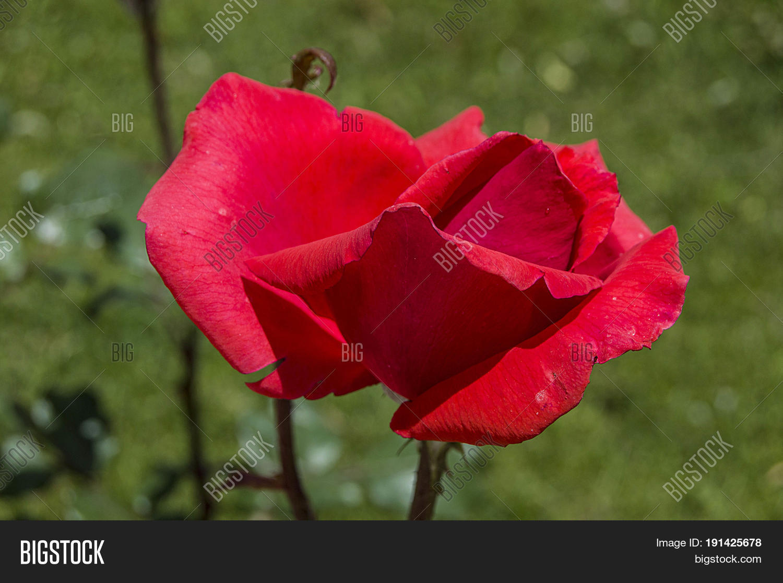 Rose Tree Most Beautiful Roses Image Photo Bigstock