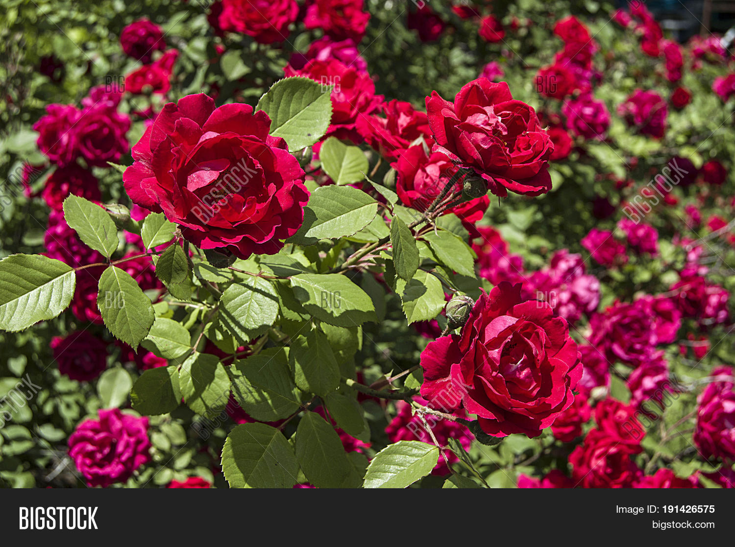 Rose Tree Most Image Photo Free Trial Bigstock