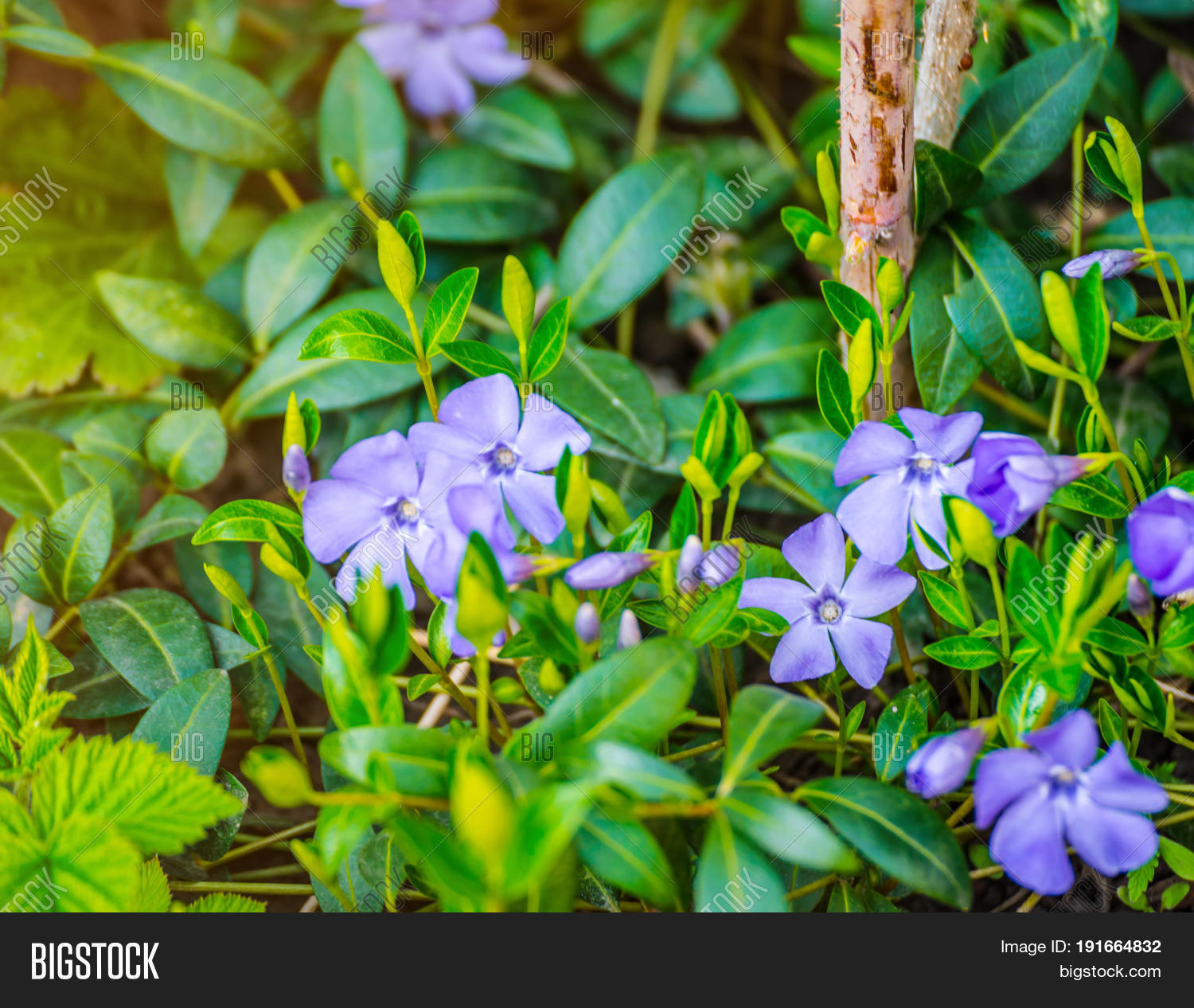 Periwinkle plant green image photo free trial bigstock periwinkle plant with green leaves and blue flowers five petalled blue periwinkle flower izmirmasajfo