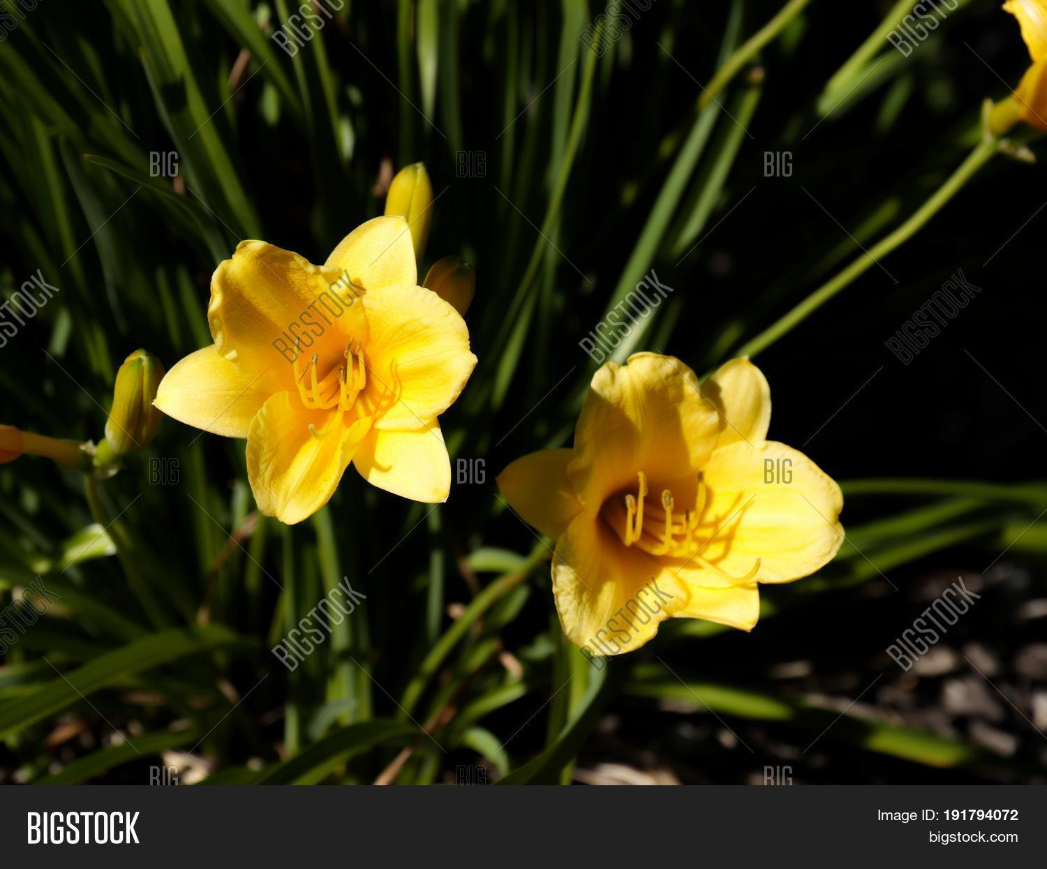 Yellow Bell Flowers Image Photo Free Trial Bigstock