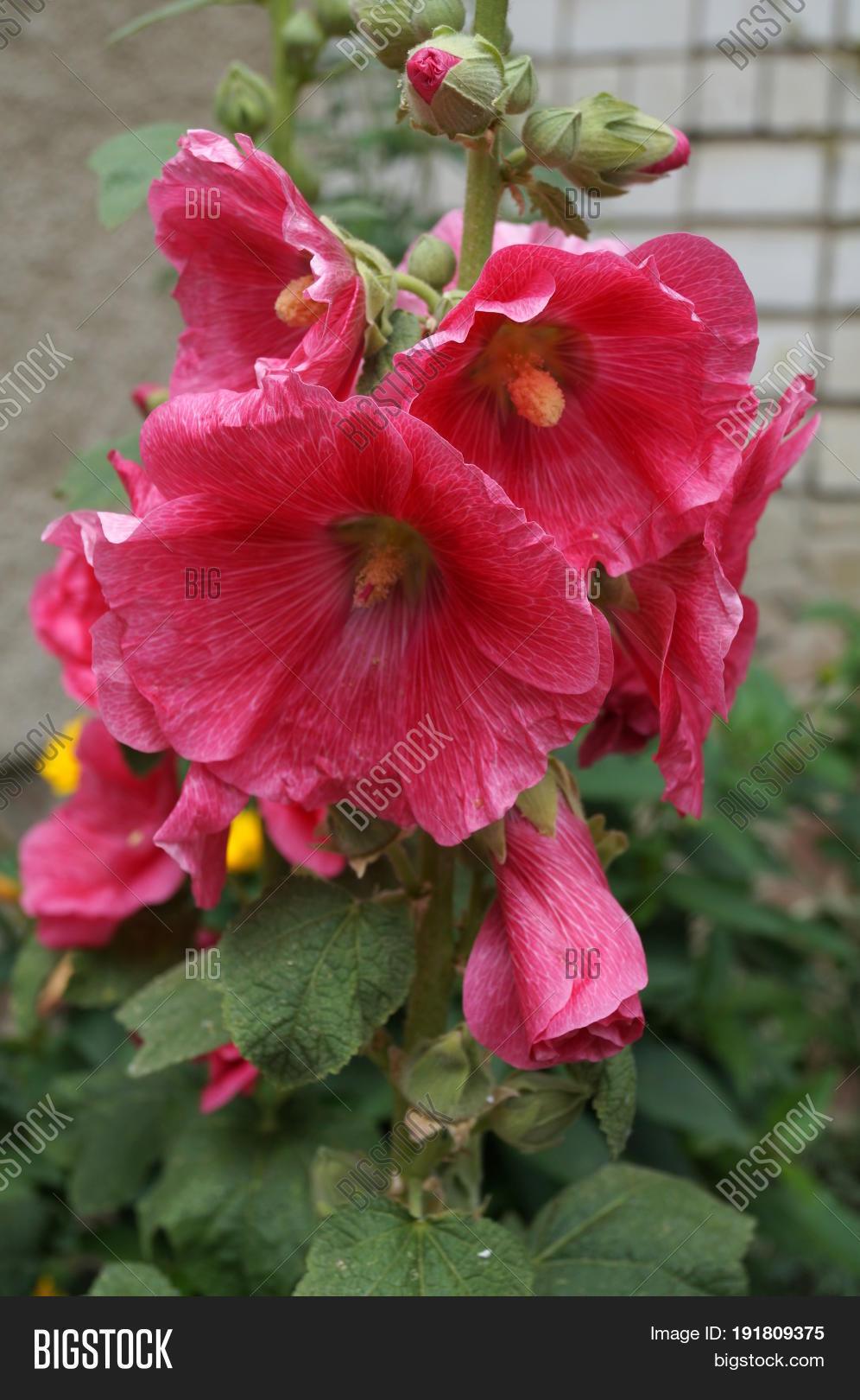 Malva Red Flowers Image Photo Free Trial Bigstock