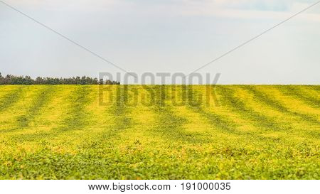 Striped yellow green field of ripe soybeans. Agricultural background with limited depth of field.