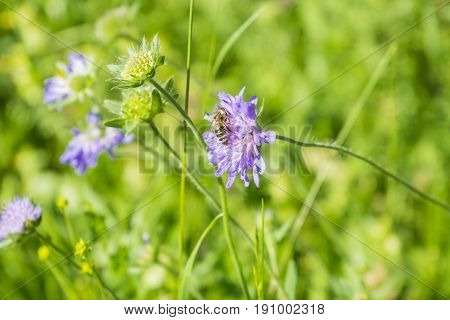 View on a little Honey Bee on a violet Flower.  Blooming Widow Flowers on a Field. Close-up of a Bee on a Wild Flower