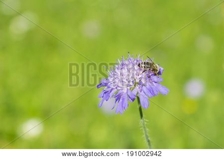 View on a little Honey Bee on a Flower. Blooming Widow Flowers on a Field. Close-up of a Bee on a Wild Flower