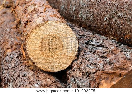 Freshly Felled Trunks Of Pine Lying On Each Other