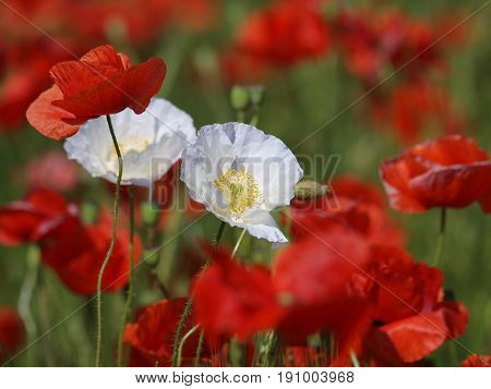 Two white poppy flowers between red poppies on a meadow. Wild poppies among grass and wild flowers. Beautiful wild flowers.