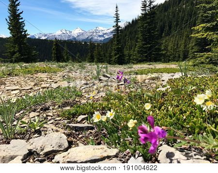 Picture of wildflowers with mountains in background, in Elbow river Valley,Kananaskis,Alberta,Canada.