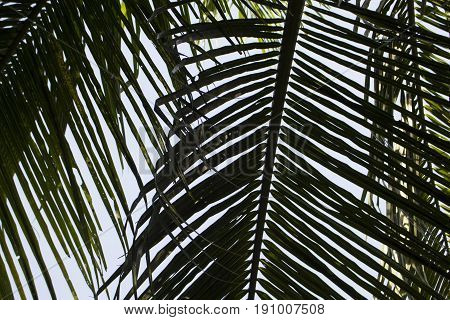 Green palm leaf over sky background. Beautiful palm leaf photo with moody effect tone. Palm leaves background. Tropical nature vintage print or poster. Exotic vacation tourism banner. Tropical wedding