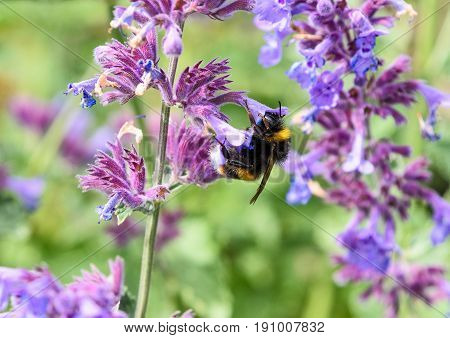 Large Bumble Bee collecting pollen from flowers