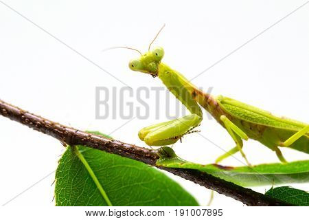 Mantis on green branch on white background. Green mantis on green plant. Soothsayer or mantis closeup. Dangerous insect in tropics. Mantodea Religiosa studio shot. Exotic nature species macro photo