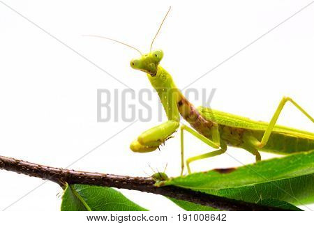 Mantis on branch on white background. Green mantis on green foliage plant. Soothsayer or mantis closeup. Dangerous insect in tropics. Mantodea Religiosa studio shot. Exotic nature species macro photo