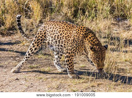 African spotted leopard after feeding. Travel to Namibia. The concept of exotic and extreme tourism