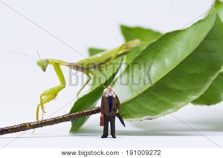Traveler figurine and green mantis on white background. Senior traveller in tropical nature. Exotic animal scene with miniature doll. Travel in tropics concept. Alien attacks victim. Exotic home pet