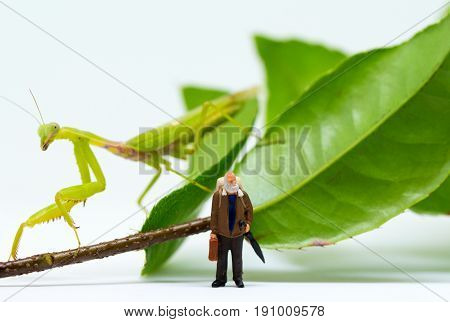 Traveler figurine and green mantis on white background. Senior traveller in tropical nature. Exotic animal scene with miniature doll. Travel in tropics concept. Alien attacks victim. Hunting animal