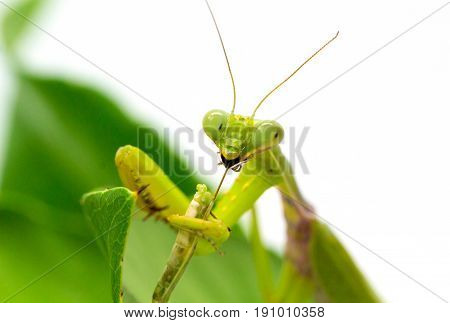 Green mantis catches and eats bug. Mantis on green leaf on white background. Green mantis hunt. Soothsayer or mantis eat bug. Carnivorous insect. Mantodea Religiosa and victim. Exotic nature wildlife
