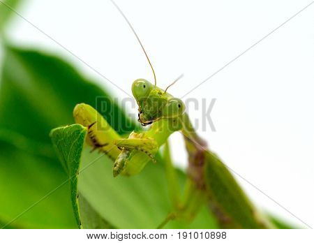 Green mantis eating grasshopper on white background. Mantis on green leaf. Green mantis hunt. Soothsayer or mantis eat bug. Carnivorous insect. Mantodea Religiosa and victim. Exotic nature wildlife