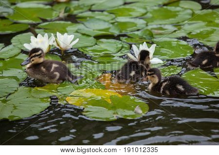 Wild duck ducklings (Anas platyrhynchos) swimming in the star lotuses (Nymphaea nouchali).