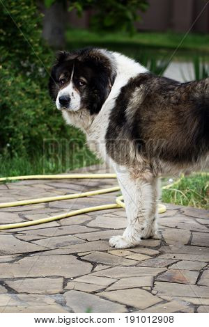 Adult Caucasian Shepherd dog. Fluffy Caucasian shepherd dog